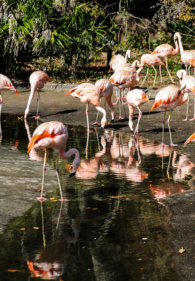 Visit the flamingos, tigers, and more at the Baton Rouge Zoo on your next trip! Check out more to do in the Southern Flair Local Guide to Baton Rouge!