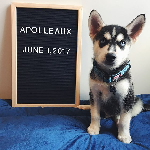 Baton Rouge Dogs to follow on Instagram - Apolleaux the Husky