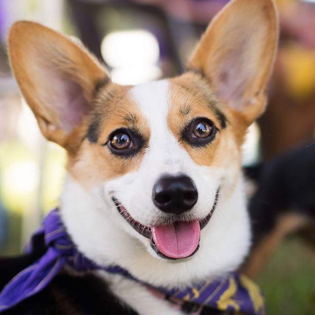 Baton Rouge Dogs To Follow on Instagram - Celeste the Corgi