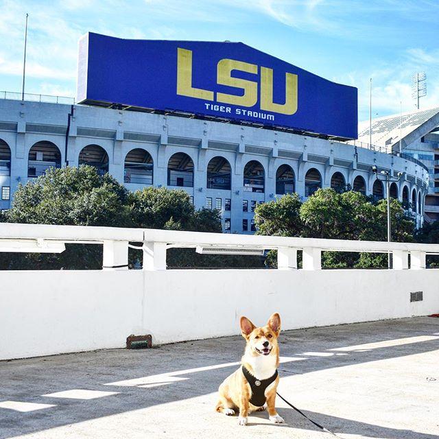 Baton Rouge Dogs to Follow on Instagram - Gus the Corgi